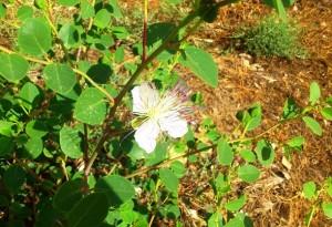Kapernstrauch mit Blüte auf Kreta