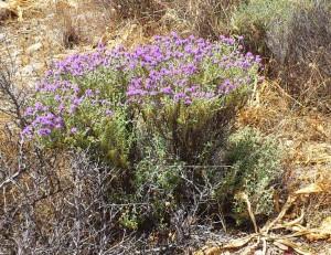 Blühender Thymian auf Kreta