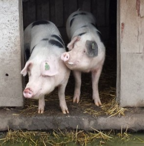 Hof am Deich - lächelnde Schweine