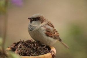 NABU-Wintervogel: Der Haussperling