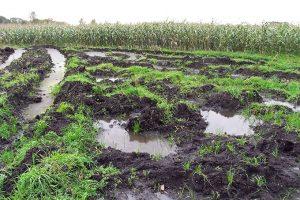 Grünlandumbruh Mais - Foto Uwe Baumert