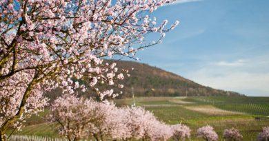 Besuch der Südlichen Weinstraße in der Pfalz zur Mandelblüte