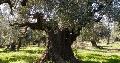 Olivenöl von Nemeon