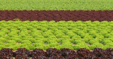 Die Salaternte auf rheinischen Feldern hat begonnen
