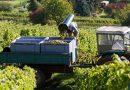 Geringere Mengen bei der deutschen Weinernte 2017 mit guter Qualität