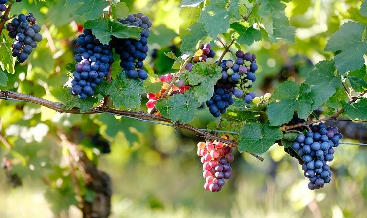 E-Book für Genießer – Die Weinwelt von Mallorca
