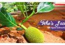 Jack Fruit als Fleischersatz – Who's Jack Shop