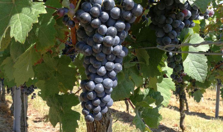 Weinbau – Ertragsschätzungen übertreffen Erwartungen