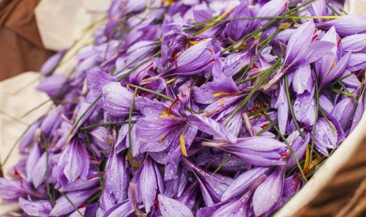 Die Ernte des roten Goldes – Safran-Ernte auf dem Doktorenhof