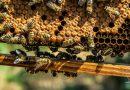 In Münster dreht sich alles um die Bienen