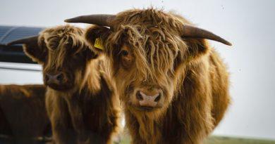 Schottisches Hochlandrind - Bild: Tourismus-Service Langeoog