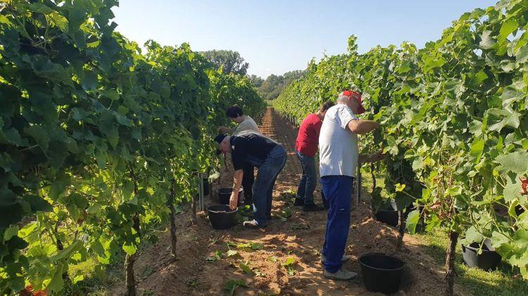 Weinlese in der Pfalz