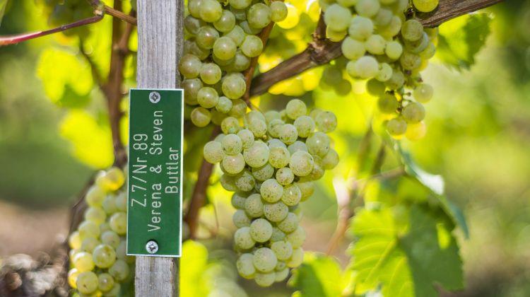 Ein Stück Sylt oder Rheingau verschenken: Die Pacht einer Weinrebe - Weingut Balthasar Ress