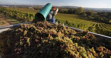Weinlese bei Johannisberg - Quelle: Deutsches Weininstitut