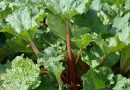 Der Rhabarber wird geerntet! – Der Provinzialverband Rheinischer Obst- und Gemüsebauer berichtet - Foto: Sabine Weis