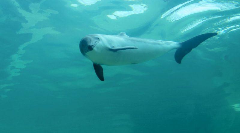 Zum Welttag des Meeres - NABU fordert wirksamen Schutz der Meere - Foto: Nabu - Schweinswal im Becken im Ecomare