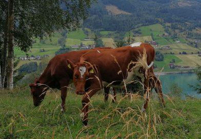 Kühe in Norwegen - Foto: Tutti i sensi, Denise Cézanne-Güttich