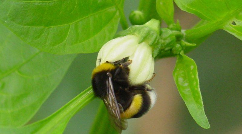 Nutzinsekten für Andalusiens Agrarindustrie