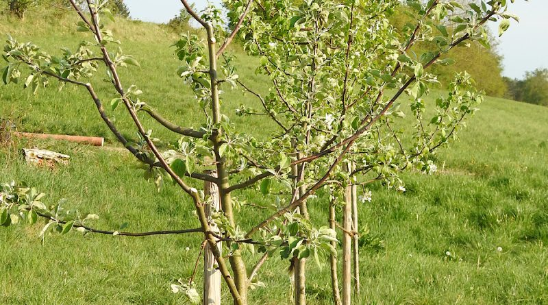 Der Apfel fällt nicht weit vom Stamm: Im Kern nachhaltige BHB Unternehmensgruppe übernimmt Apfelbaum-Patenschaft am Ammersee